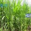 Kỹ thuật trồng cỏ VA06 làm thức ăn cho bò sữa