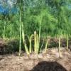 Kỹ thuật trồng măng tây xanh cho năng suất cao