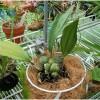 Hướng dẫn kỹ thuật trồng hoa lan bằng giá thể xơ dừa