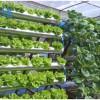 Cách trồng thủy canh rau xà lách