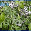 Mẹo nhỏ dùng thảo dược tăng sức chống chịu bệnh cho cá