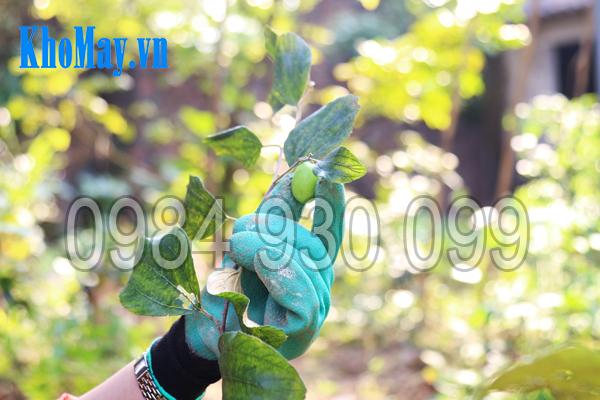 Găng tay làm vườn có móng 3A hái quả dễ dàng