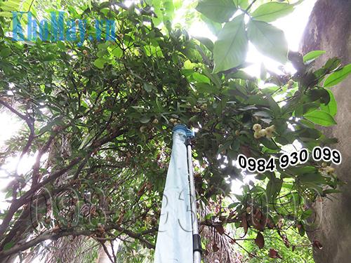 Hái mận (roi) bằng dụng cụ hái trái cây trên cao chạy điện 3A