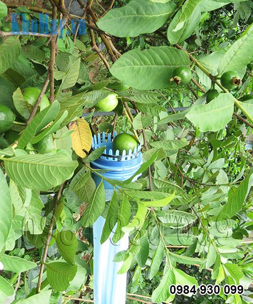 Hái ổi bằng dụng cụ hái trái cây trên cao chạy điện 3A
