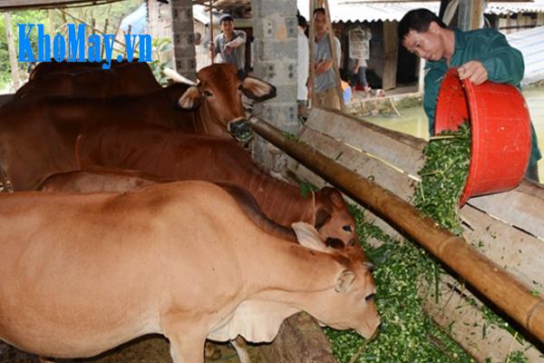 Kỹ thuật nuôi bò sinh sản: thức ăn cho bò