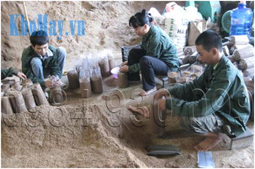 Kỹ thuật trồng nấm linh chi bằng bã mía