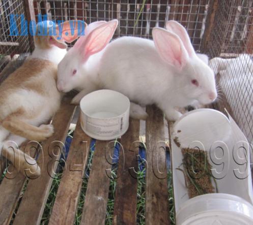 Tự chế biến thức ăn cho thỏ thịt