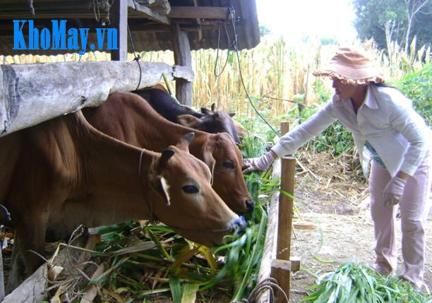 máy băm cỏ, máy băm cỏ voi, máy băm cỏ cho bò,